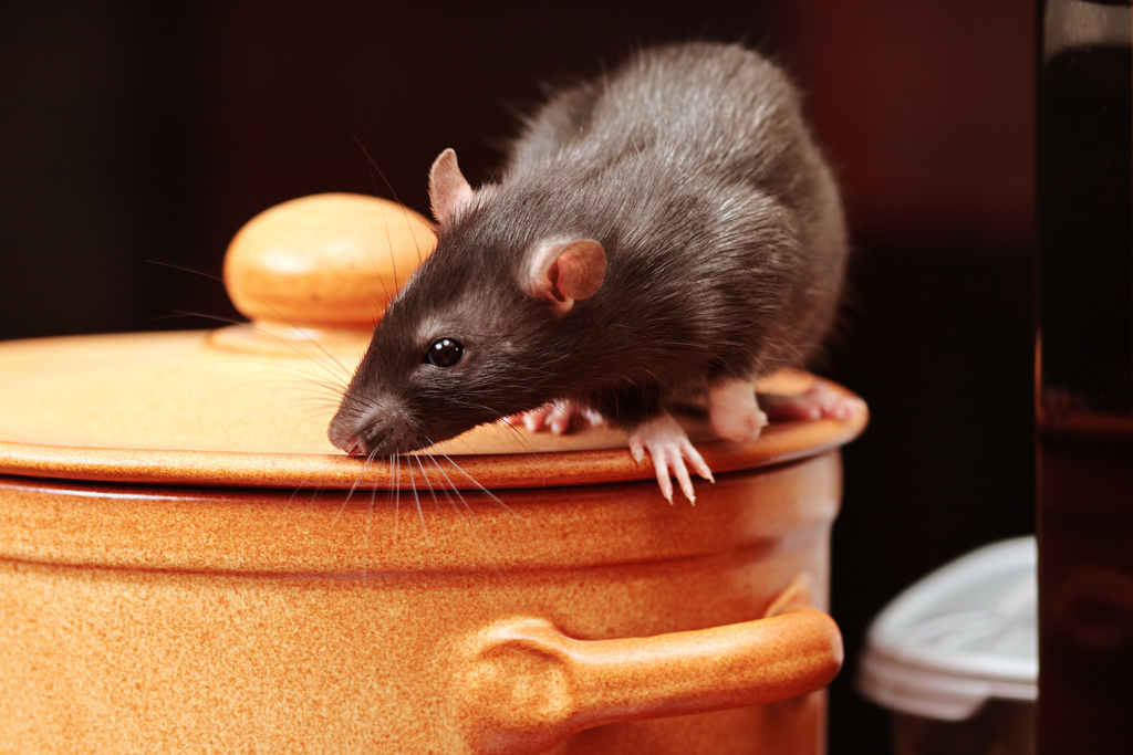 How to Rid Your Home of Mice and Rats for Good